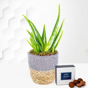 Aloe Vera Plant - Indoor Plants - Plant Delivery - Houseplants - Plant Gifts - Send Plants - Home Plants