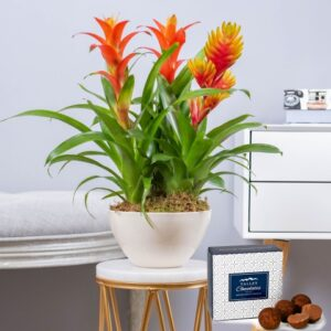 Bromelia Plant - Indoor Plants - Plant Gifts - Plant Gift Delivery - Home Plants - Plant Delivery