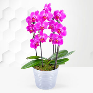 Cascade Orchid - Orchid Plants - Orchid Delivery - Indoor Plants - Plant Delivery - Houseplants - Indoor Plant Delivery
