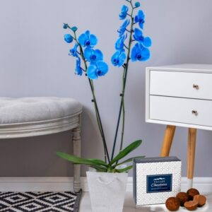 Sapphire Orchid - Blue Orchid - Orchid Plants - Indoor Plants - Plant Gifts - Plant Gift Delivery - Indoor Orchids